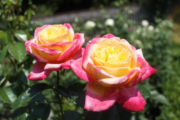 2 Rose einzeln